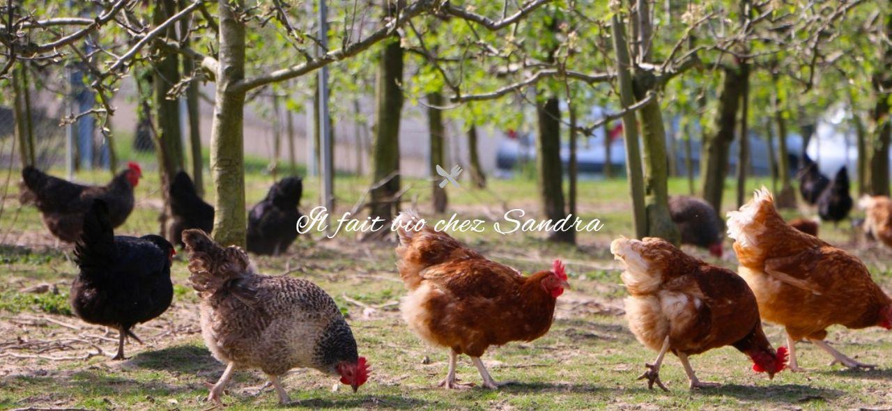 Oeufs frais, poulets et poules bio